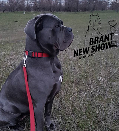 кане корсо Brant New Show Glorius Life